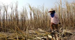 La esclavitud en la industria del azúcar: jornadas extenuantes y salarios de miseria