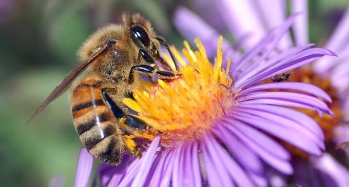 La diversidad de las abejas multiplica el rendimiento de algunos cultivos