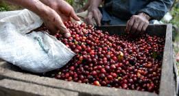 <em>El café: sin crisis no hay paraíso</em>