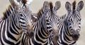 ¿Cómo consiguieron las cebras sus rayas?