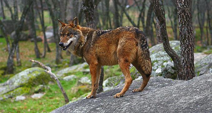 Castilla y León permitirá cazar más lobos