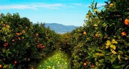 El cambio climático amenaza viñedos, olivares y naranjos en España