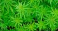 El Parlament insta al Govern a regular los clubs de cannabis en Cataluña