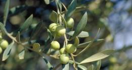 El olivo, símbolo de la resistencia palestina