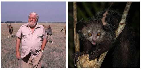 Gerald Durrell visitó Madagascar para iniciar la cría en cautividad de algunas especies endémicas, como el aye-aye, que más tarde inmortalizó en su libro 'The Aye Aye And I', traducido al castellano con el título 'Rescate en Madagascar'.