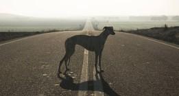 'Yo galgo': un documental sobre el drama de estos animales en España