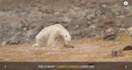 ¿Viste el vídeo del oso polar famélico? Pues ahora lee esto