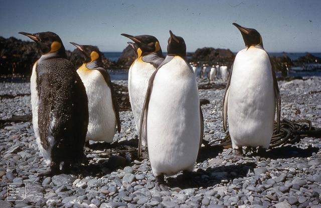 Pingüinos Rey en una colonia de cría / Foto: Dr Mary Gillam Aarchive Project / CC BY 2.0