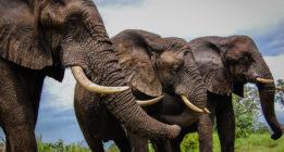 Matanza de elefantes, crisis en Sudáfrica y más, en el resumen de noticias de África subsahariana